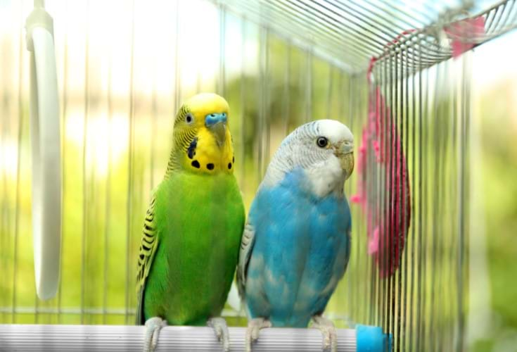 PET & AVIARY  BIRDS