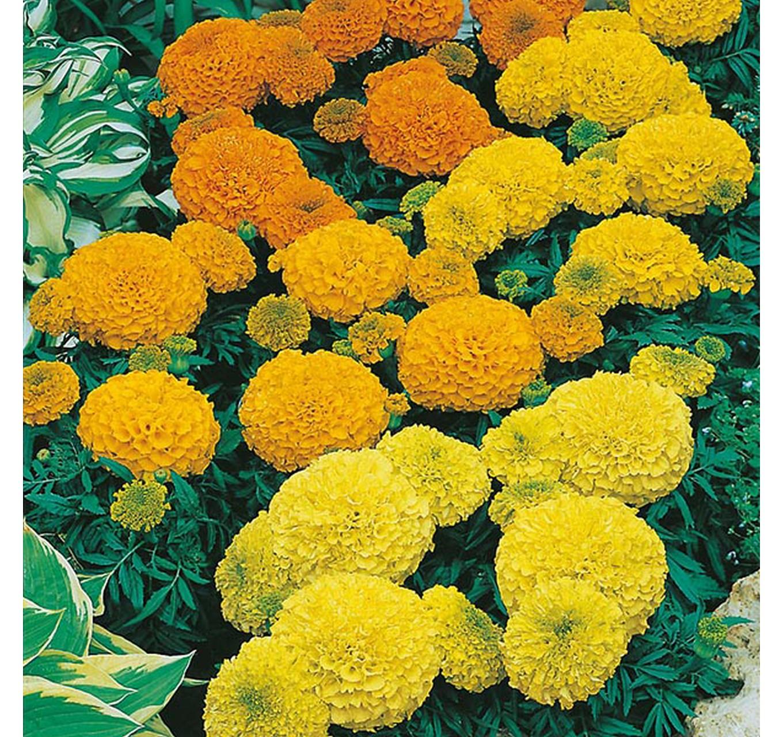 Marigold (African) Shara Mixed
