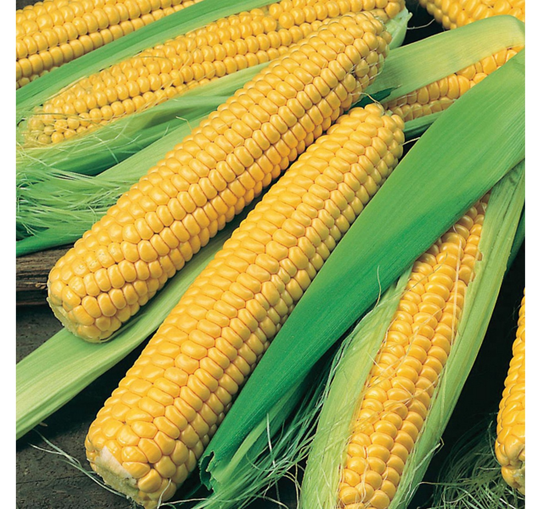 Sweet Corn Bodacious RM F1