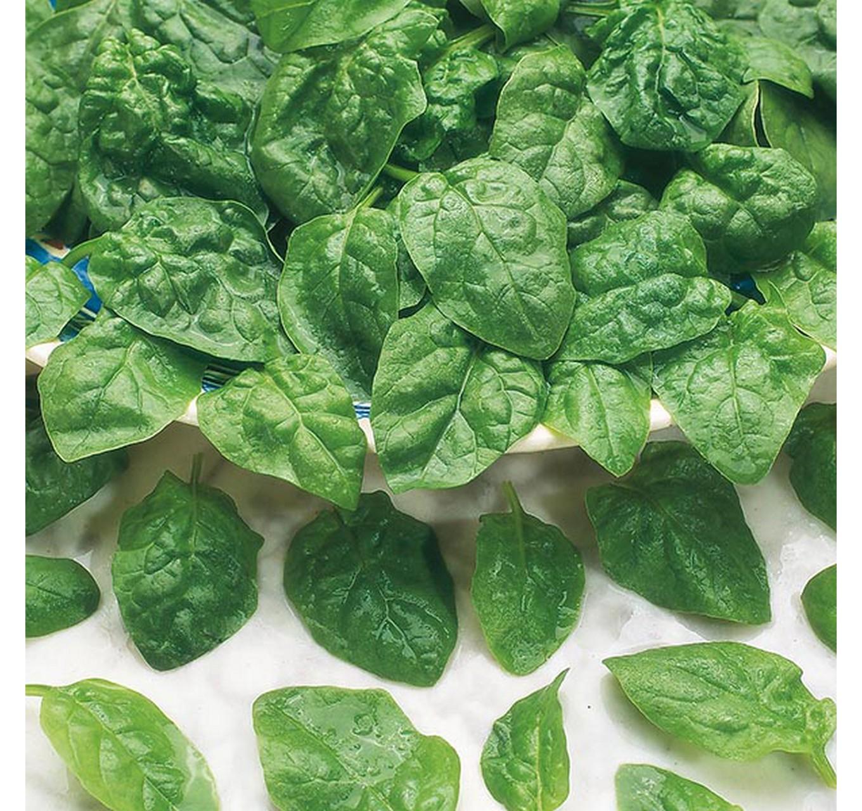 Spinach Samish F1