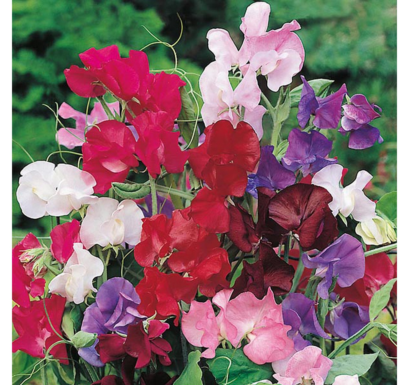 Sweet Pea Bouquet Mixed