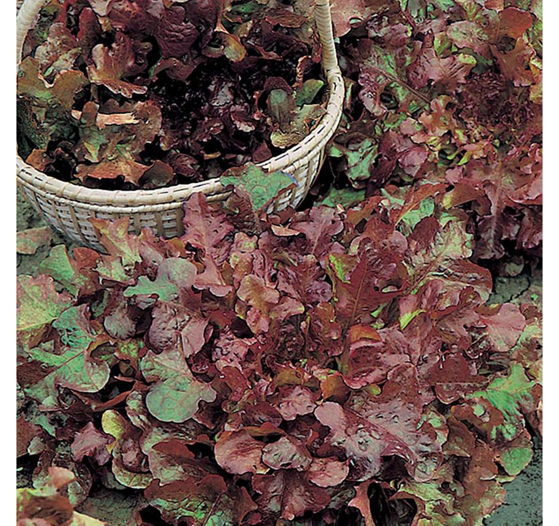 Lettuce Salad Bowl - Red