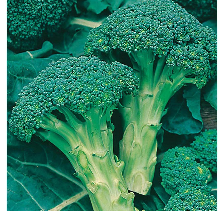 Broccoli (Autumn) Green