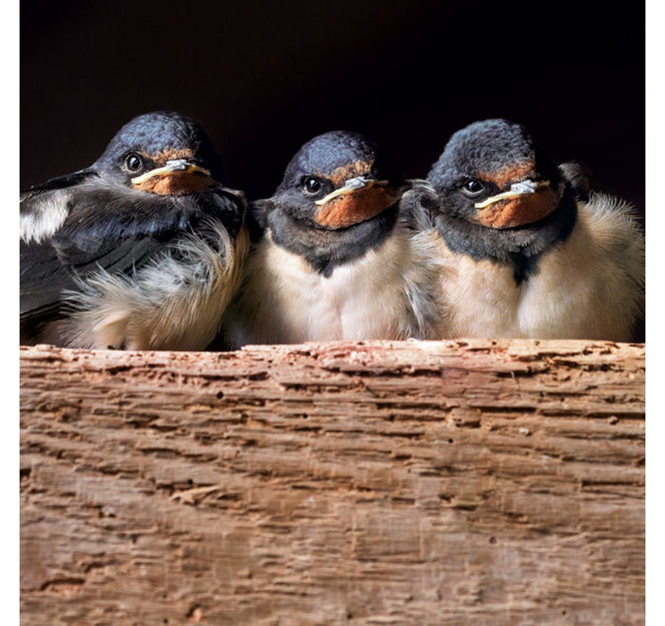 Three Swallow Chicks - Card