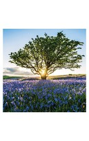 Sunburst & Bluebells - Card
